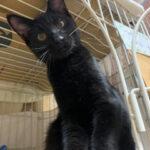 里親募集中の保護猫:チロル